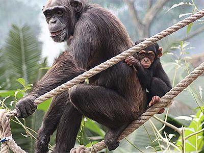 Ansicht eines Schimpasen mit Jungem im Zoo Osnabrück
